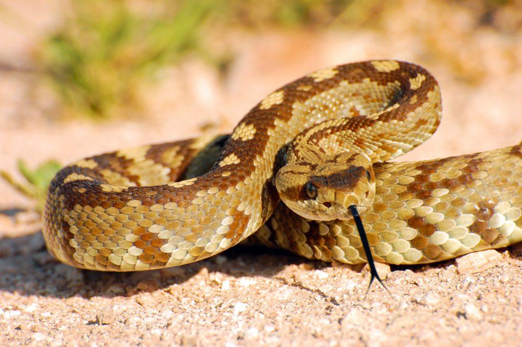 Blacktail Rattlesnake Coiled to Strike 2